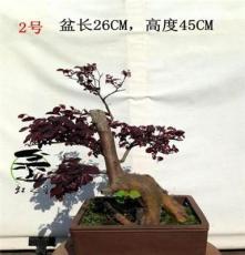 红花继木,红花檵木,盆景,盆栽,实物销售,精美,树桩,开花