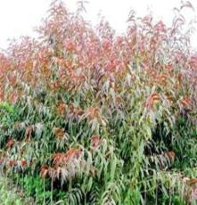 綠化苗木碧桃、紅紫葉碧桃