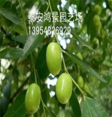 宝盖枣枣树苗,枣树苗价格,供应果树苗、绿化苗