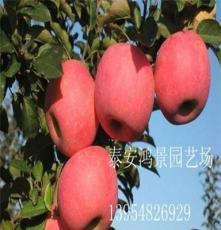 萌苹果苹果苗批发,苹果苗价格,山东果树苗,绿化苗出售
