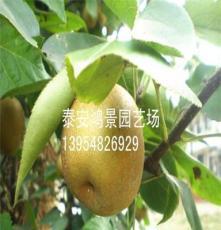 晚秋黃梨梨樹苗,梨樹苗品種  供應各種果樹苗、綠化苗*****