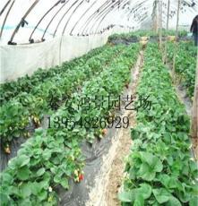 雞心草莓苗,草莓苗價格 山東果樹苗,綠化苗出售