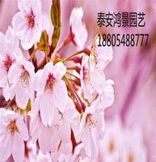 櫻花,櫻花樹廠家,香椿苗,花椒苗價格