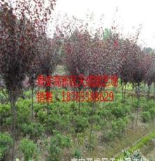 低價批發各規格紅葉李等綠化苗木 品種多 規格全 價格低