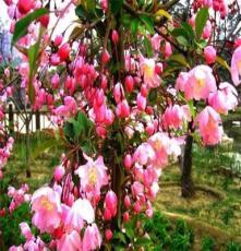 基地批发北美海棠 工程绿化苗木  各种北美海棠