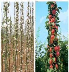 批发果树苗润太一号柱状苹果树苗 盆栽地栽苹果树苗