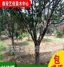 山东泰安苗木基地大量批发绿化苗木 5公分樱花