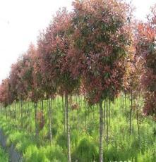 大量供应 红叶石楠树苗 高杆红叶石楠树苗 园林绿化苗木批发