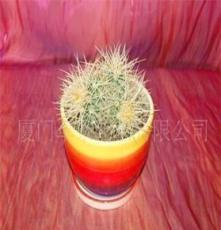 批发供应花卉-室内观叶植物-多头金琥