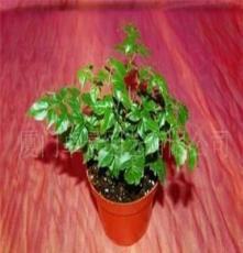 批发供应花卉-室内观叶植物-幸福树