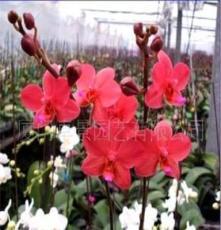 花卉盆景-室内观花植物-蝴蝶兰红