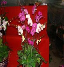 小盆栽-花卉-观花植物-蝴蝶兰