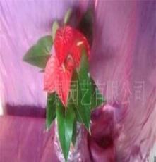 花卉-室内观花植物-红掌