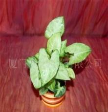 花卉盆景-室内观叶小盆栽-绿精灵