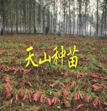 天山种苗红薯苗山东红薯苗