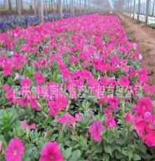 牵牛花、牵牛花苗、盆栽牵牛花、攀援植物、彩色牵牛花