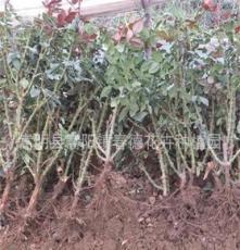 月季苗低價批發 扦插月季苗團購 扦插月季種苗 扦插月季兩年苗
