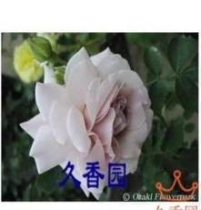 盆栽花卉 藤本月季花苗 盆栽 灰色鉆石 勤花,耐開,多花