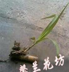皇竹草,牧草,牧草種子,優質牧草,新型皇竹草,種苗,種芽