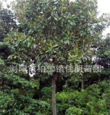 乔木 佳明苗圃长期供应 5公分广玉兰 绿化苗木