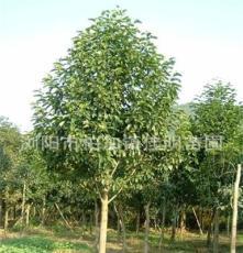 乔木 湖南浏阳常年供应15公分乐昌含笑苗木 乐昌含笑绿化苗木
