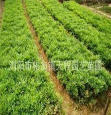 大量各種規格十大功勞 常綠灌木