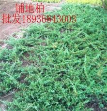 铺地柏价格 铺地柏种植方法介绍 苗圃直销绿化苗木