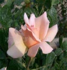 大花品种月季(美化庭院)(图)