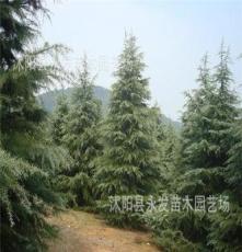 供应优质雪松树苗 雪松小苗 绿化苗木 工程用苗 小区绿化庭院苗