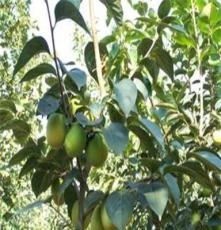 果樹苗木批發田園農業果樹出售 柿子 新次郎甜柿