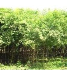 提供各种绿化苗木五角枫