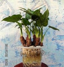 滴水观音(水培花卉室内水养植物玻璃瓶长沙创远园艺花卉租赁租摆)