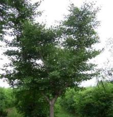 優質銀杏樹 綠化喬木