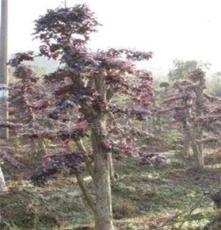 供應綠化苗木--紅繼木造型古樁