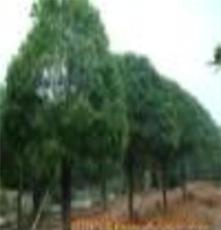 供應優質綠化苗木 桂花--金桂--銀桂--四季桂 桂花小苗