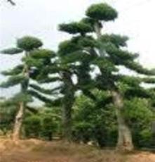 供應苗木-- 榆樹、紅繼木、羅漢松古樁盆景