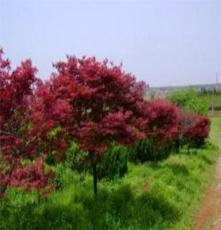 大量供應綠化苗木-- 紅楓 高接紅楓 日本紅楓