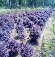 球灌木-向陽花木優質提供 蓬徑50-250公分紅花繼木球 價格優惠