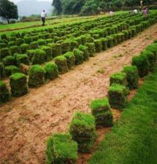马尼拉草皮 湖南怀化校园操场绿化用的 结缕草种子批发价格