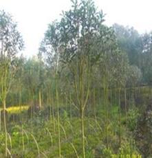 批发绿化苗木:金桂3公分3000棵