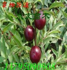 鈣果苗價格歐李樹苗綠化苗木