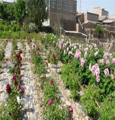 五福紫斑牡丹组合,吉祥富贵,改善风水