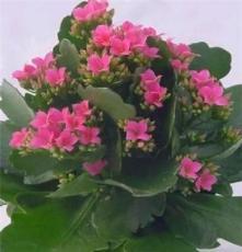 花卉小盆栽 长寿花 重瓣 多色 花期长 办公室盆栽净化空气