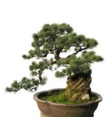 杭州五针松 盆景松木盆景 松树