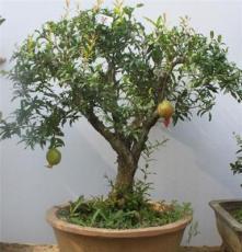 整園出售石榴園林樹 石榴盆栽 景觀綠化樹石榴樹 牡丹紅石榴樹
