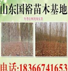直销山东法桐 速生法桐 出售15公分法桐2年帽 绿化苗木 乔木类