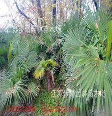 基地直销 一到2米棕榈 3米以上棕榈 芭蕉树等