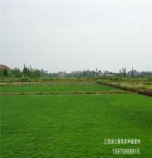 江西草坪生产基地 — 大量出售德兴马尼拉草皮