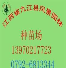 供应 毛竹种子 林木种子/园林种苗/批发种子/绿化种子