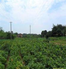 批发占地用果树苗 荔枝实生苗 嫁接苗 各种大小规格都有 荔枝苗
